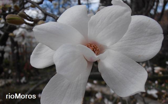 Flor de MAGNOLIO DE LOEBNER Magnolia x loebneri