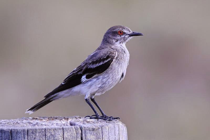 pampas tyrant birds