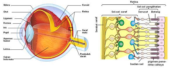 sel batang dan sel kerucut pada mata