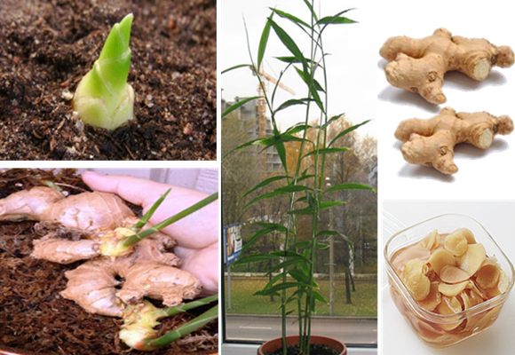 Aprender plantar gengibre