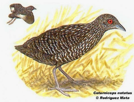 Speckled Crake