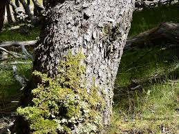 Nothofagus pumilio tronco