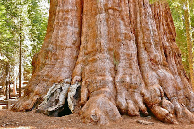 General Sherman A Giant Sequoia Seen in Giant Forest of Sequoia in California