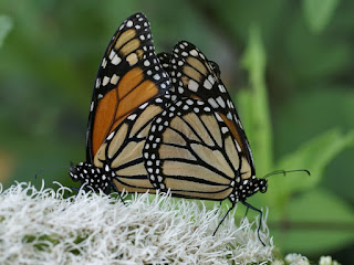 Photo de Papillon : Monarque - Danaus plexippus