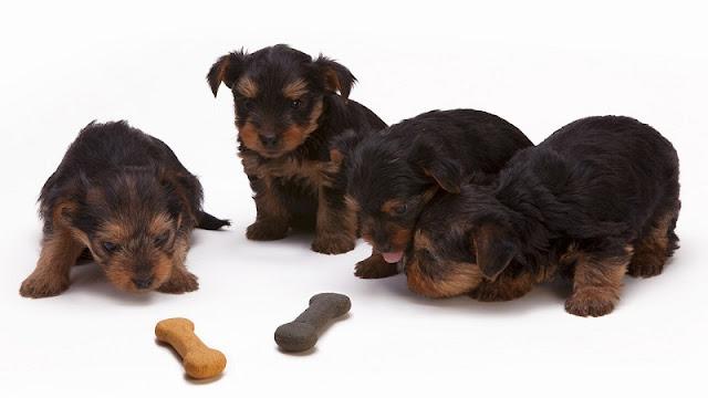 empat ekor anak anjing lucu sedang mengamati biskuit