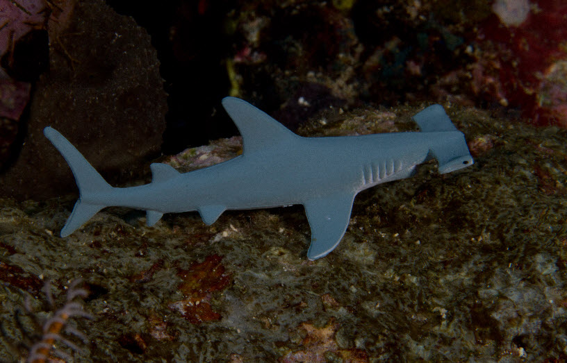 largest hammerhead shark - photo #29