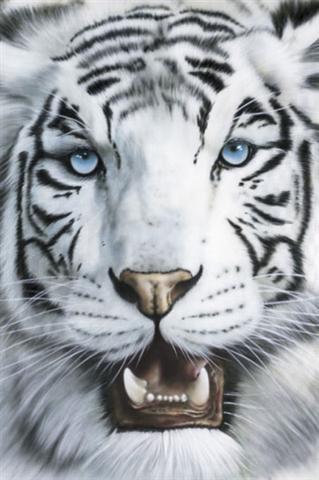 ∞imagenes∞: Tigres blancos/ white tigers