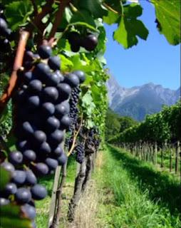 cara menanam pohon anggur berbuah lebat