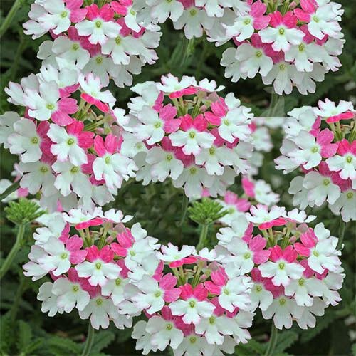 Flower Homes: Verbena Flowers