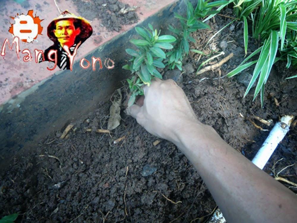 Gb. 3. Meletakan atau menanam tanaman pada galian tanah
