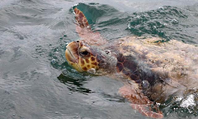 la tortuga Carey en Espiritu Salvaje en Mexico