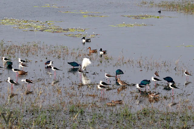 Black-winged Stilt's along with Garganey, Northern Shoveler, Egret, & Purple swamphen