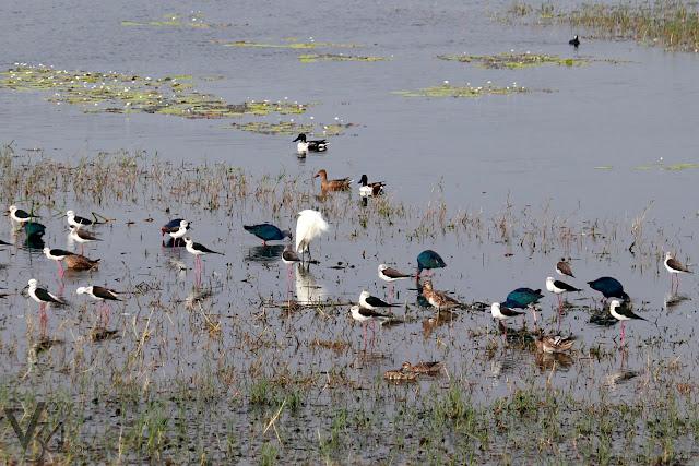 Black-winged Stilt's along with Garganey, Northern Shoveler, Egret, & Purple swamphen