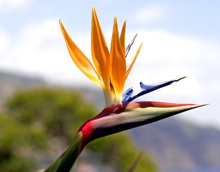 Bunga Bird Of Paradise (Strelitzia) Beserta artinya