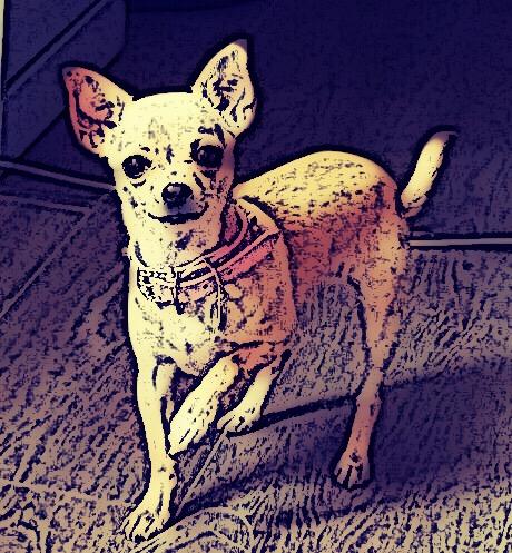 standard chihuahua pedigree