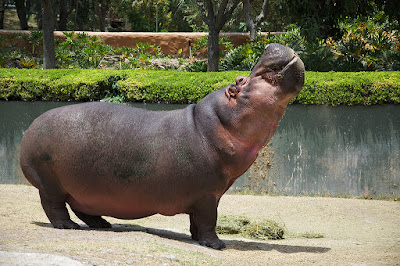 facts about Hippo