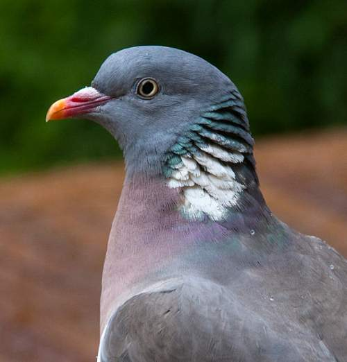 Picture of Common wood pigeon - Columba palumbus