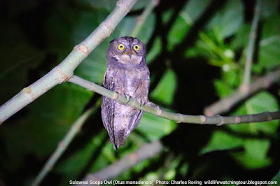Sulawesi Scops Owl - a nocturnal bird in Minahasa, photo by Charles Roring