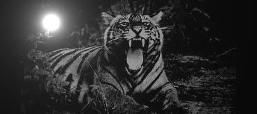 khodam macan loreng gaib ampuh, berguna untuk mustika kekebalan