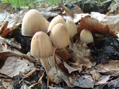 Grzyby majowe, grzyby w maju, grzyby na wiosnę, grzybobranie w maju, borowiki w maju, borowik ceglastopory Boletus luridoformis, Las Bronaczowa, lasy w okolicach Krakowa, Sromotnik smrodliwy, sromotnik bezwstydny Phallus impudicus