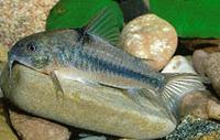 Jenis Ikan Corydoras nattereri
