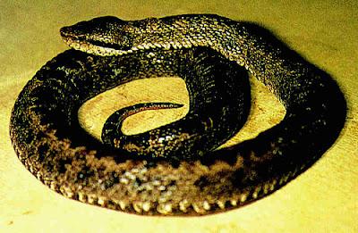 endangered snakes