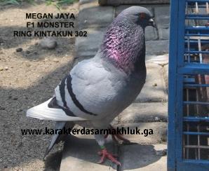 Download 85+  Gambar Burung Merpati Megan  Terbaru