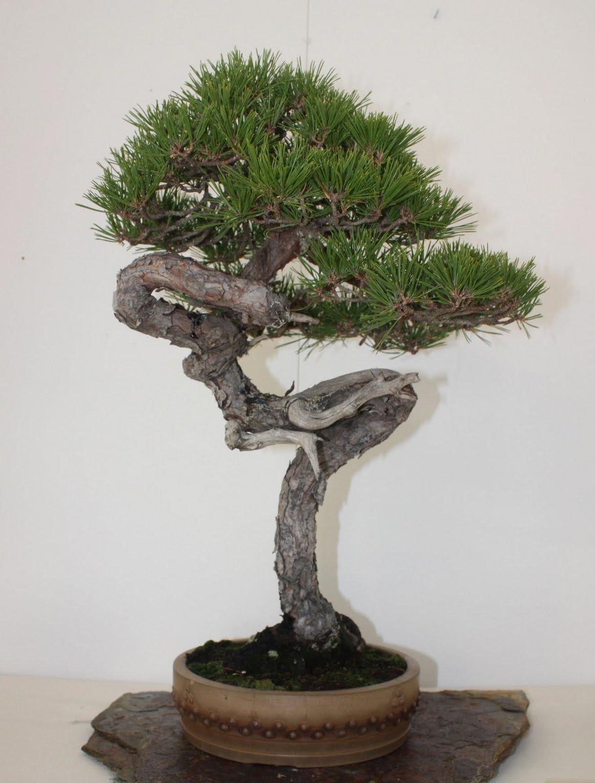 Pino silvestre passione e rispetto hobby bonsai for Dove comprare bonsai