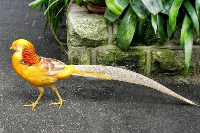Güzelliğiyle Tüm Dünyayı Büyüleyen En Dünyanın En Güzel Kuşları - Altuni Sülün - Kurgu Gücü