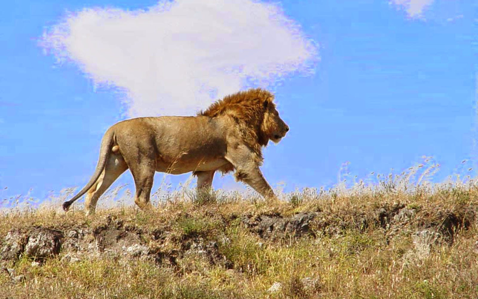 Cute Watercolor Laptop Wallpapers Wallpapers African Lion Wallpapers