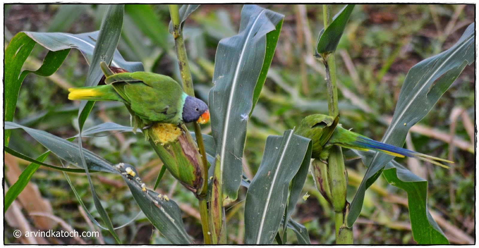 Slaty-headed Parakeet, Maize
