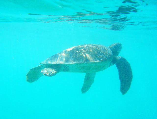 snorkla med havssköldpaddor i Akumal - Mexiko