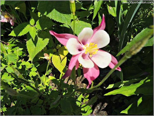 Aquilegia-Colombina en el Puente de las Flores de Shelburne Falls