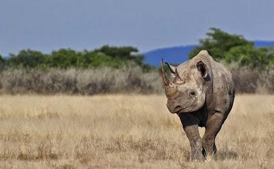 https://bio-orbis.blogspot.com.br/2014/05/extincao-rinocerontes-podem-desaparecer.html