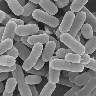 Lactic Acid Bacteria in the Fermentation Process