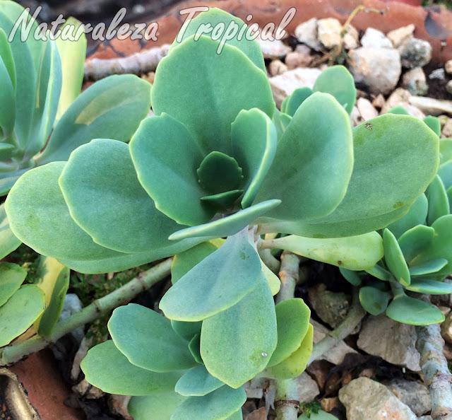 Hojas de la planta suculenta Kalanchoe prittwitzii