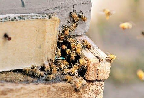 La morte improvvisa di 72 milioni di api in Argentina