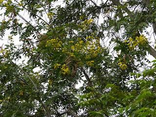 Senna siamea - Cassia du Siam - Séné de Siam