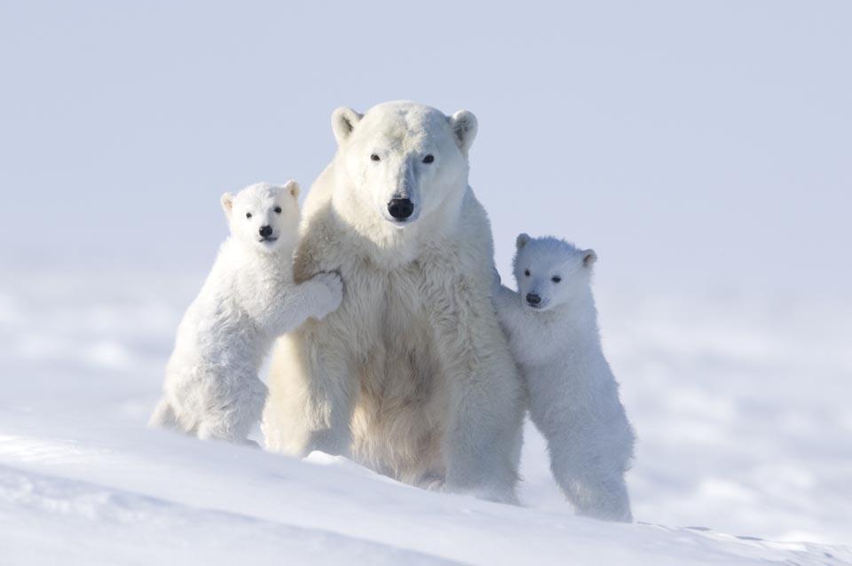 Семья белых медведей. Мама и два медвежонка (11 фото)