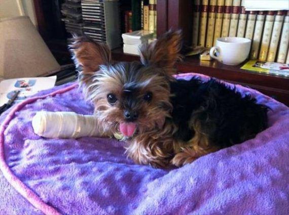 Adoráveis Animais usando gessos, ataduras e cones para recuperar de pequenas lesões