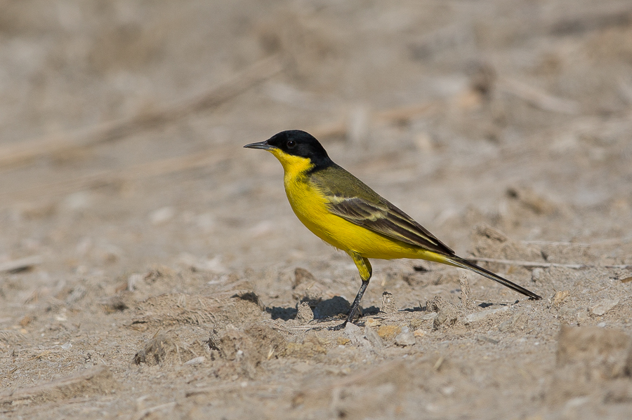 Black-headed Wagtail feldegg