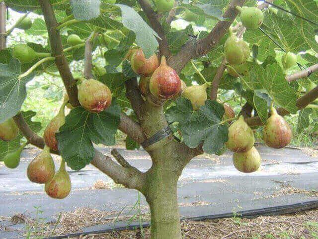 buah tin