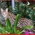 Kucing Habari