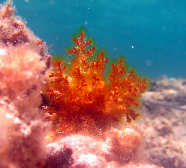 Red algae on a shallow reef
