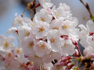 Gambar Bunga Sakura Paling cantik di Jepang 4000