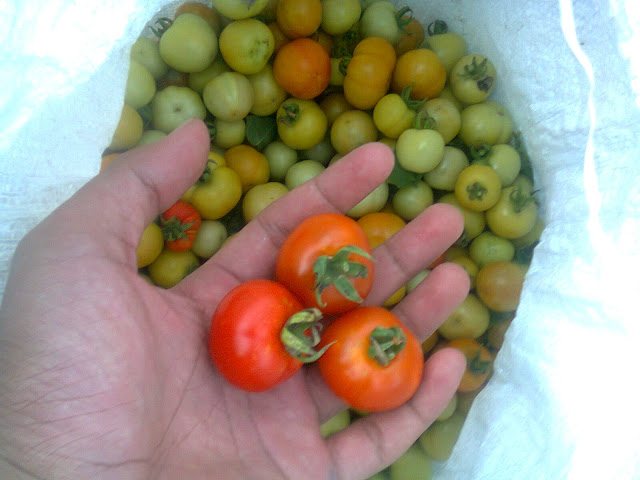 Hasil Panen Tomat Rampai di Kebun Saya Pribadi