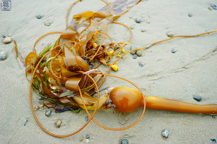 Le Chameau Bleu - Algue de Long Beach - Vacances Tofino Canada