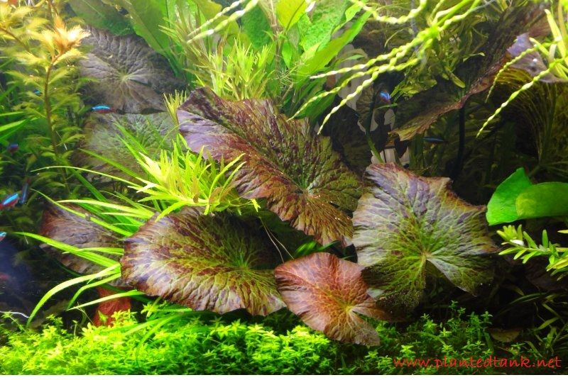 Green Tiger lotus - Tanaman - Tanaman Aquascape Untuk Pemula Yang Mudah Sekali Perawatanya