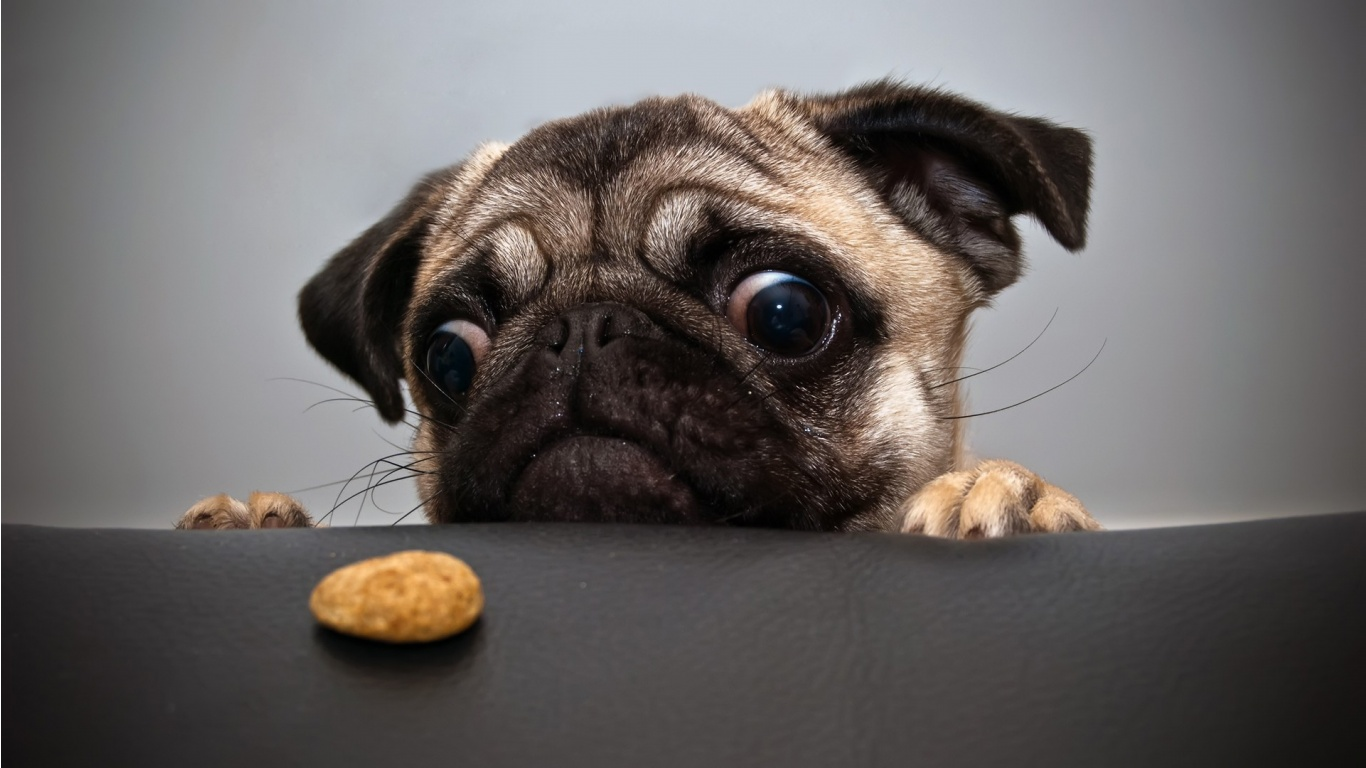 Pug hungry puppy ~ Dream Wallpapers