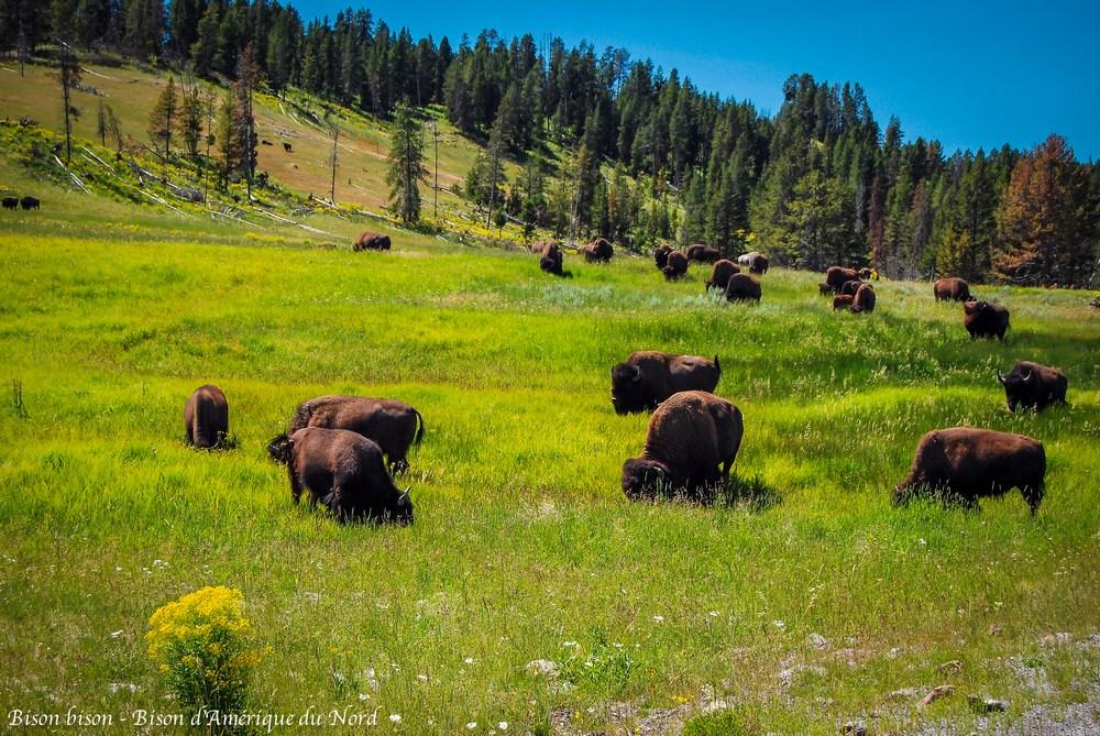 Bison bison - Bison d'Amérique